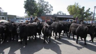 Cows-at-the-cattle-drive-founders-day-templeton