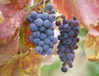 Wine grape harvest is officially underway in Paso Robles